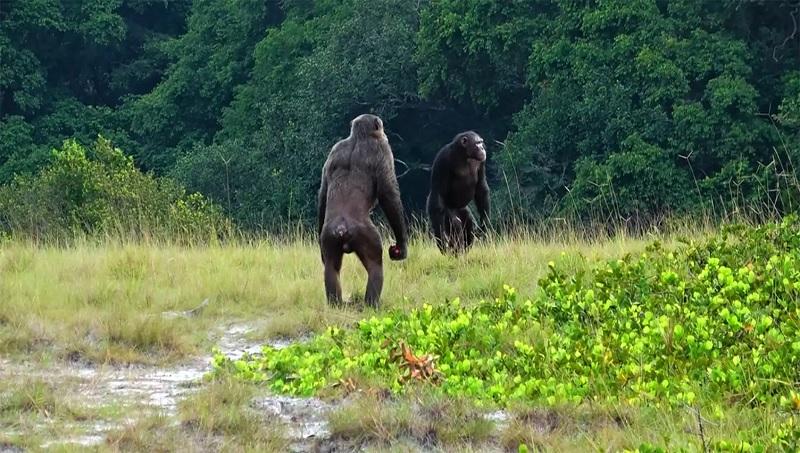 Foto: iStock e Lara M. Southern/Loango Chimpanzee Project/Reprodução