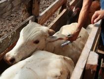 Termina no domingo o período de vacinação contra a febre aftosa em SP
