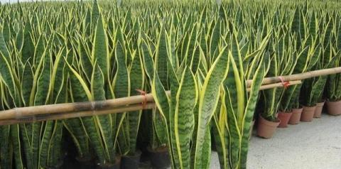 Tenha ao menos uma dessas plantas em sua casa: elas são verdadeiras