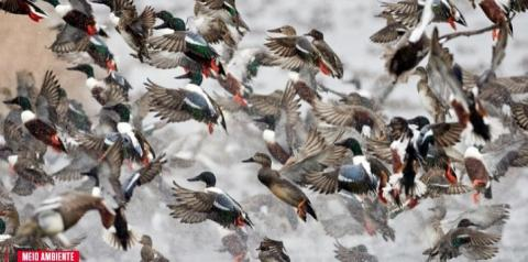 China pode enviar 100 mil patos para conter praga de gafanhotos no Paquistão