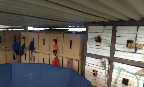 PM Ambiental flagra rinha de galo, resgata animais e detém suspeitos em Araçatuba