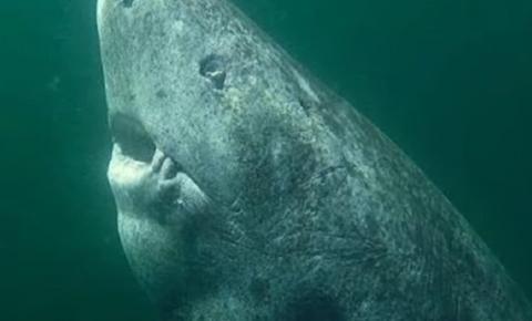 Este tubarão é o vertebrado vivo mais velho do mundo, com 512 anos
