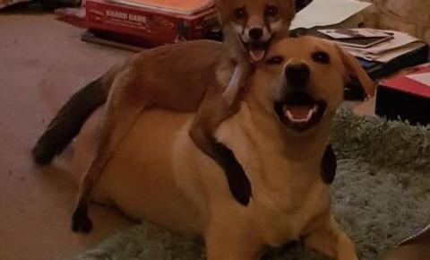 Melhores amigos: raposa e cães formam uma linda família inseparável