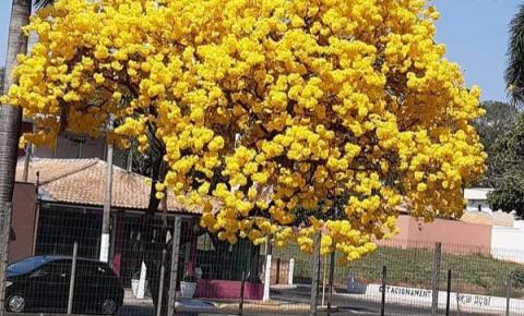 Ipê Florido vem chamando a atenção na avenida Pompeu de Toledo