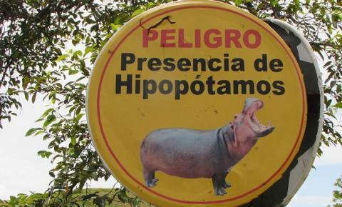 Hipopótamos de Pablo Escobar precisam ser abatidos, defendem cientistas
